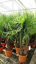 Winterharte Hanfpalme - Trachycarpus fortunei