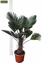 Winterharte Hanfpalme - Trachycarpus wagnerianus -