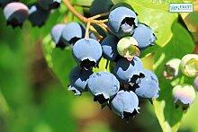winterharte Heidelbeere (Blaubeeren) Pflanze,