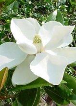 Winterharte Magnolie - Magnolia Grandiflora Francois Treyve - weiße Blüten - Gesamthöhe 70-90cm Topf Ø 17cm - 2,5 Ltr.