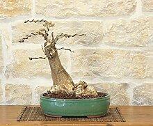 Wisteria bonsai tree (11)