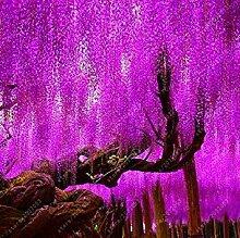 Wisteria Samen Blumensamen Wisteria Baum Pflanze