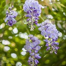 Wisteria sinensis- Blauregen Kletterpflanze