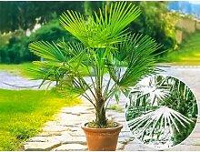 wolfcraft® Winterharte Kübel-Palme,1 Pflanze,