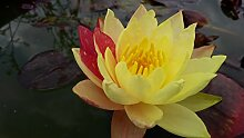 Wundervolle zweifarbige Seerose wanvisa