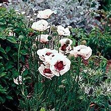 Xianjia Garten - 100 Pcs Flander-Mohnblumen