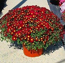 Xianjia Garten - 100Stück Chrysantheme