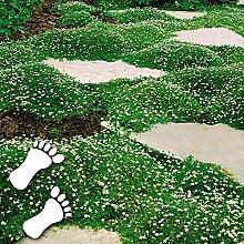 Xianjia Garten - Sternmoos Ziergras Saatgut