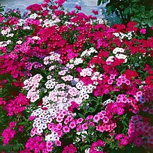 XINDUO Blumensamen winterhart mehrjährig,Vier