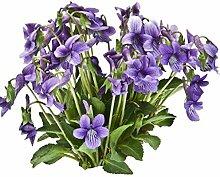XINDUO Samen fü Blumen,Violette Chrysantheme