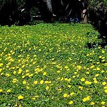 XINDUO Steingarten & Staudenbeet,Pflanze