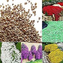 Xinzhi 100 Stücke Rock Kresse Samen Blumensamen