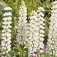 XIYAO 30 Lupine Samen Russells Wildflower Lupinus