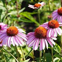 XIYAO 300PCS Echinacea Coneflower Samens Blumen