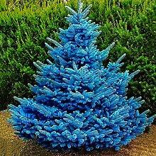 XQxiqi689sy 100 Stück/Beutel Blauficht-Samen