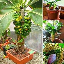 XQxiqi689sy 100 Stück Mini Bananenbaum Samen