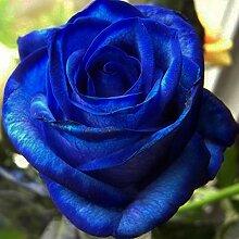 XQxiqi689sy 20 Stück Seltene Blaue Rose Samen
