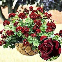 XQxiqi689sy 20 Stück Seltene Geranie Blumensamen