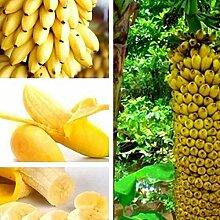 XQxiqi689sy 200 Stück Zwerg Bananenbaum Samen