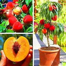 XQxiqi689sy 5 Stück Pfirsichbaum Samen Köstliche
