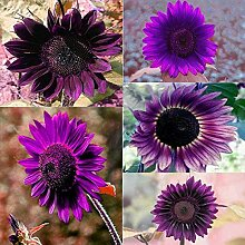 XQxiqi689sy 50 Stück Sonnenblumenkerne lila