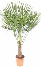 XXL Palme 180 cm Trachycarpus fortunei,