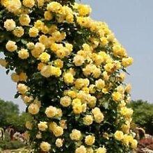 YELLOW Kletterrose Spalier Gartenlaube Dekor 20,