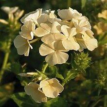 Yellow Phlox-Blumensamen (Phlox Drummondii) 200 +