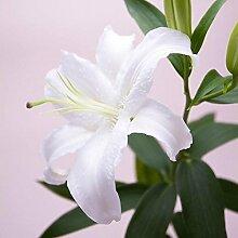 YENJOS Blumensamen- 50 Particle Lily Seeds