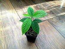 Ylang Ylang, Parfüm Baum (Ylang-Ylang) * 1Pflanze * aromaterapy
