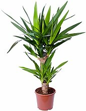 Yucca Palme, Palm - Lilie, Zimmerpflanze,
