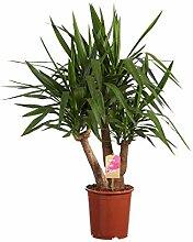 Yucca | Pflanze grün | Zimmerpflanze | Höhe 130