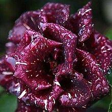 Yukio Bauergarten - 50 Stücke Edelrosen Samen