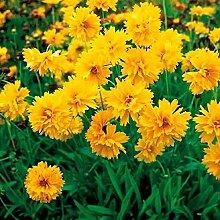 Yukio Samenhaus - Selten Zwergmädchenauge Gelb