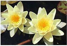 ZAC Wagner 1 St. Gelbe Seerose Teichpflanze