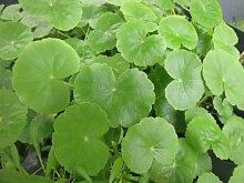 ZAC Wagner Wassernabel (Hydrocotyle vulgaris) Teichpflanze Teichpflanzen Teich Unterwasserpflanze