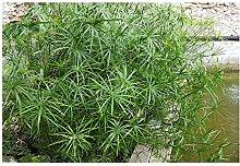 ZAC Wagner Wunderschönes Zyperngras (Cyperus