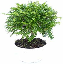 Zanthoxylum beecheyanum Kräuter Gewürz Pflanze,