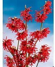 Zaubernuss Diana® rot 1 Pflanze