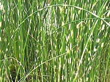 Zebrabinse Teichpflanze Teichpflanzen Teich