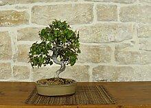 Zelkova bonsai tree (18)