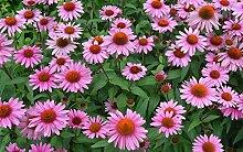 zhangshifa Puzzle 1000 Pieces,Echinacea Purpurea