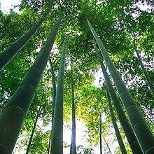 Zhouba riesige Moso-Bambus-Samen für Hof,