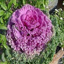 Zierkohl Gemüsesamen (Brassica oleracea) 50 +