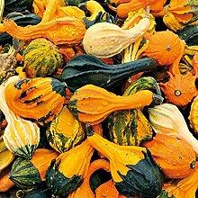 Zierkürbis, 'Autumn Wings'
