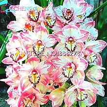 Zierpflanze Hibiscus moscheutos Samen 200pcs,