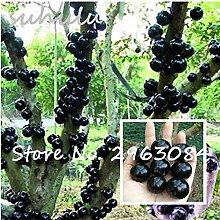 Zierpflanze Plinia cauliflora Samen 100Pcs Familie
