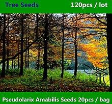 Zierpflanze Pseudolarix Amabilis Samen 120pcs, Laubbaum Chinesische Goldene Lärchen Samen, Scenic Forest Jin Qian Song Samen