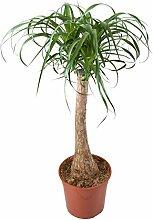 Zimmerbaum von Botanicly | Elefantenfuß | Höhe: