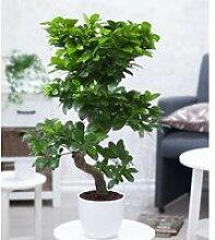 Zimmerbonsai Ficus 'Ginseng' ca. 50 cm hoch